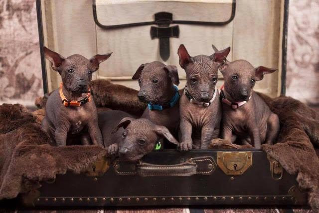 Peruanski bezdlaki psi
